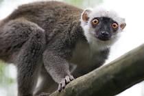 Lemur běločelý v pražské zoologické zahradě.