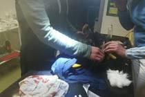 Ošetření dravce ve vlašimské stanici pro zraněné živočichy.