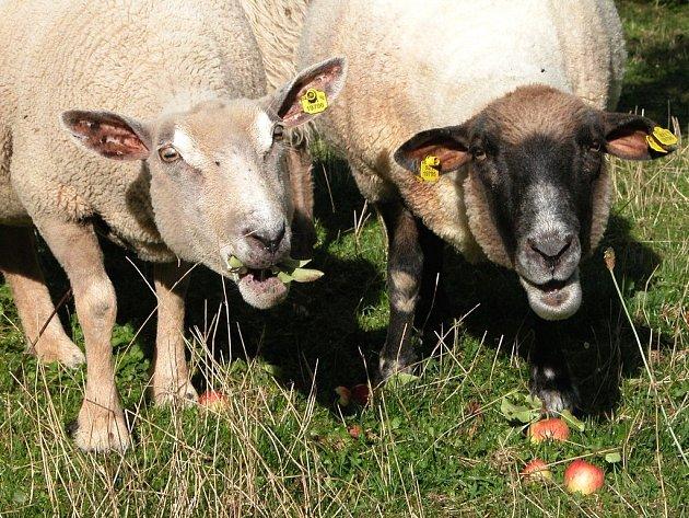 Ilustrační foto: Pobytu venku ovcím, a nejen jim, ztěžuje otravný hmyz. Jeho bodnutí může skončit i smrtí zvířete