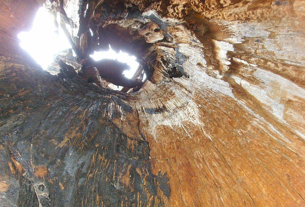 Starý dub ve vlašimském zámeckém parku.