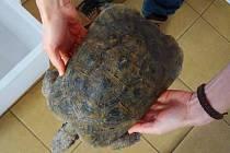 Želva suchozemská nalezená u dálnice nedaleko Soutic.