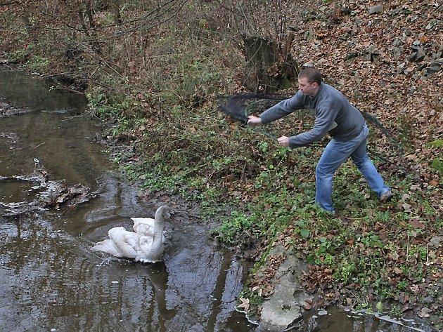 Záchrana labutě ze Záhořanského potoka.