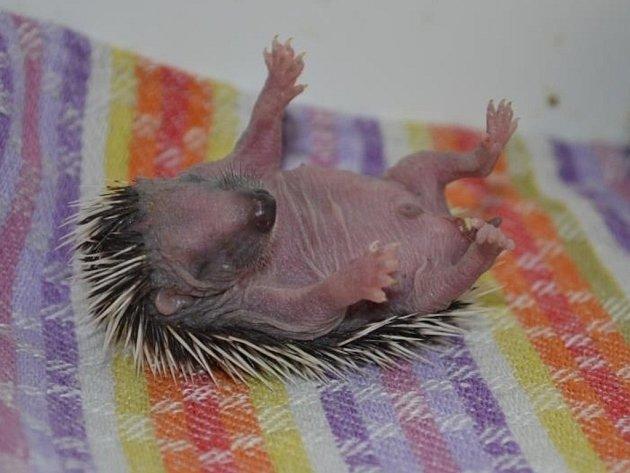 Zatím jsou všechna mláďata ještě slepá. Zrůžové jemné pokožky jim již trčí pichlavé ostny, ale do koule se mláďata schoulit ještě neumí a tak jsou velmi zranitelná.