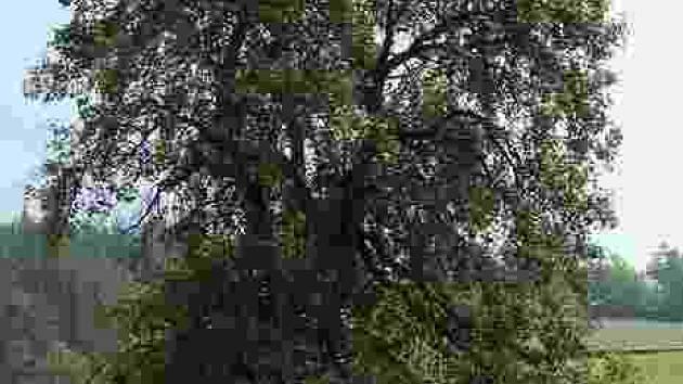 Hrušeň. Svědek násilného roztržení rodin, ale i jakýsi symbol obnoveného života na zničeném území původních Lidic.