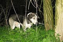 Pes byl ke stromu připotaný řetězem.