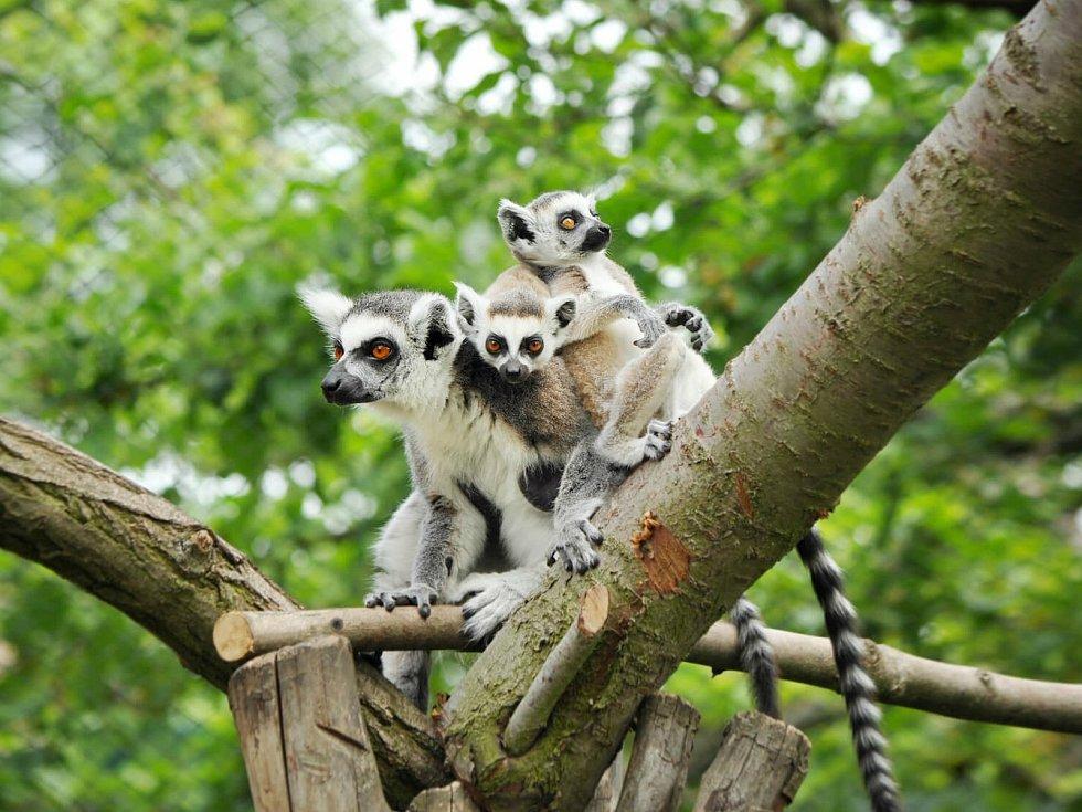 Zoopark Zájezd: lemuři kata.
