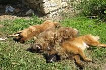 Zubožené opuštěné psy v Lisovicích, které jejich majitelka nechala volně pobíhat po vsi musela majitelka psího útulku uspat narkotizační puškou a za pomoci strážníků odvézt do kotců.