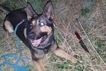 Služební pes Hakim objevil útočníkův řeznický nůž do patnácti minut.
