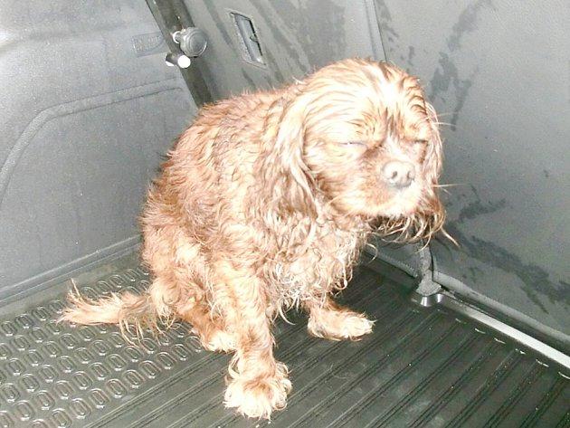 ZACHRÁNĚNÝ už vysprchovaný pes na cestě ke své majitelce. Ta ho hledala  a měla z jeho návratu velkou radost