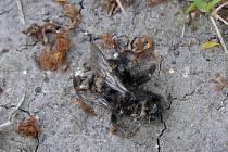 Nektar z lípy plstnaté či stříbrné je pro čmeláky nestravitelný. Jednoduše by se dalo říct, že zdrogovaní čmeláci umírají při jídle hlady. Dva stromy se nacházejí v kladenském sportovním areálu Sletiště.