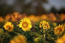 Slunečnice od Jany Jochmanové.