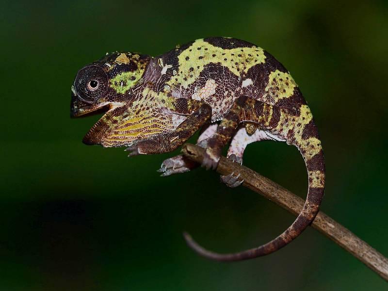 Mládě chameleona límcového.
