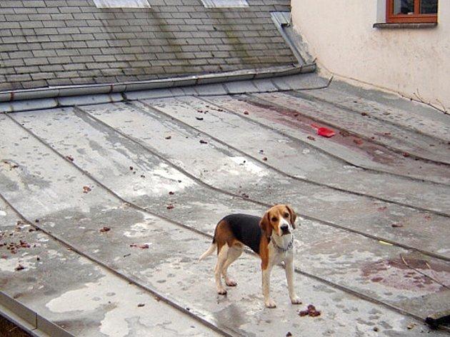 Týrání? Jak dlouho se tento bígl chodí venčít na střechu, ví přesně jen jeho majitel.  Asi však netuší, že v zimě se tato plocha může pro psa stát nebezpečnou skluzavkou a v létě rozžhavenou plotnou.