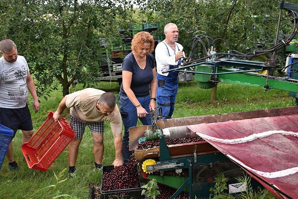 Sklizeň višní v ovocnářství Hany Muchové.