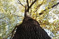 Ledce zvedají laťku v počtu památně chráněných stromů. Nejnovější je Beránkův.