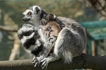 Samice lemura kata Gargí s mládětem, druhé se pevně drží na břiše matky.