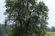 Snaha o prohlášení lidické hrušně památným stromem byla úspěšná.