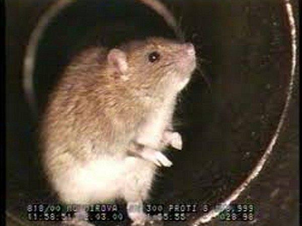 ZVÝŠENÝ VÝSKYT hlodavců potvrdily také záznamy z kamer používaných při kontrolách stavu kanalizace.
