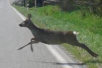 Vyběhne-li srna takto těsně před autem, je řidič už často bezradný. Prevencí je celoročně mezi lesy a poli ubrat plyn.