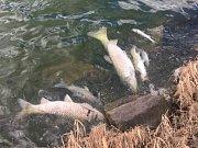 Proč uhynuly ryby v rybníku v Luníkově, je předmětem zkoumání.