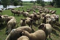 Katarální horečka ovcí je již za hranicemi republiky. Toto závažné onemocnění nenapadá pouze ovce, jak je uvedeno v názvu, ale i kozy a skot.