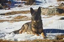 Služební pes kladenských policistů - fena Orma.