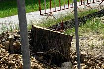 Zbytky pokáceného stromu v Kročehlavech.