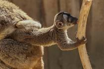 Mládě lemura hnědého v Zooparku Zájezd.
