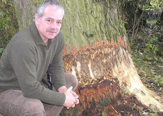 """Bobr kácí stromy na břehu rybníka, i když nedostal žádné povolení,"""" říká s úsměvem starosta Svárova Ivan Zetek."""