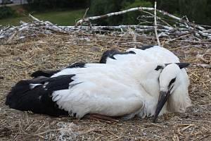 Kroužkování dvojice kačických čápat v červenci 2019.