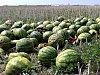 Nevídané! Pole za Slaným je plné melounů