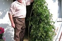 Ondrej Detvianský z Kladna Švermova vypěstoval nejen gigantický stromek rajčete, ale vlastní i vinnou révu, která je naprostý nezmar a její šlahouny končí až u sousedovy zdi.