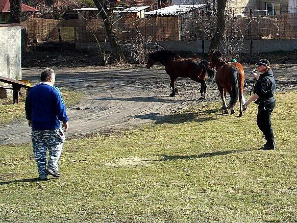 Kladenští strážníci v tomto týdnu za asistence ošetřovatelky v Dubí odchytávali splašené koně.
