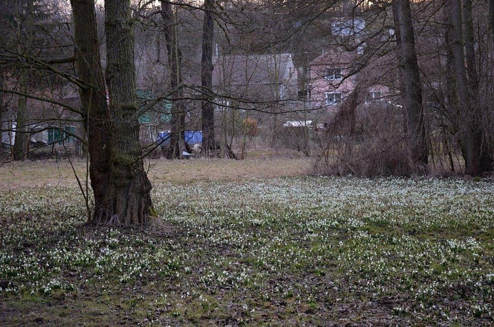 Bledule jarní a přírodní památka Třebichovická olšinka.