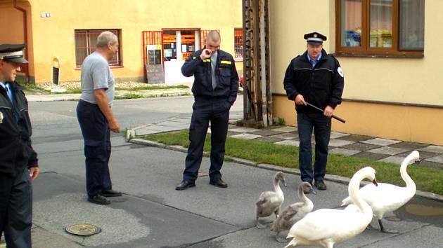 Labutí rodinku slánští strážníci eskortovali do Červeného rybníka.