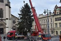Do Kladna přivezli v pátek vánoční strom.