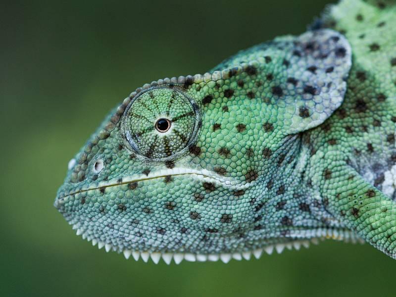Chameleon límcový.