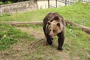 Medvědice Míša, za kterou muž do výběhu vlezl.