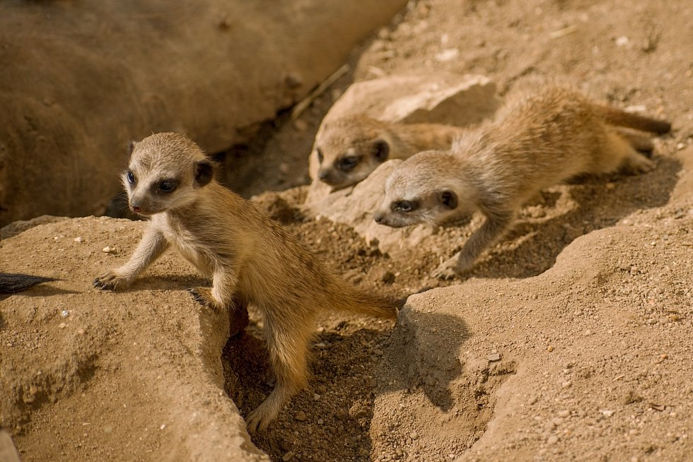 Surikaty v Zooparku Zájezd mají trojčata.