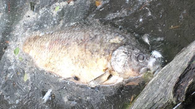 NĚKOLIK UHYNULÝCH RYB jsme našli v ústí Lidického potoka. Zbytek rybníka byl v normálním stavu.