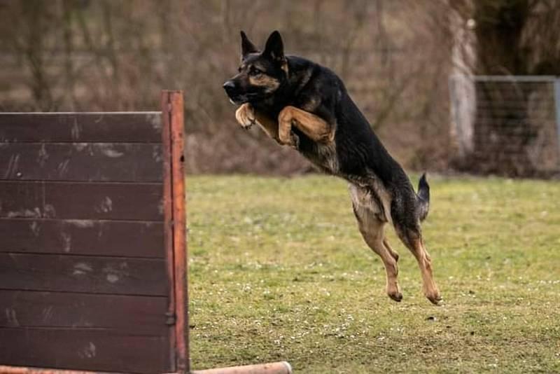 Šestiletý policejní pes Hakim slouží v Kladně, na starosti má rajon Kladenska, Berounska, Rakovnicka i Prahy-západ.