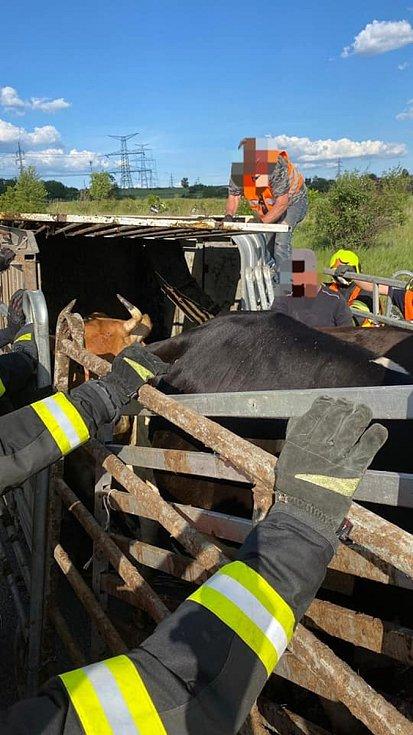 Přívěs byl naložený čtyřmi kravami.