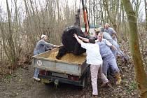 Kráva utekla z velvarských soukromých jatek a ohrožovala okolí. Musela být zastřelena