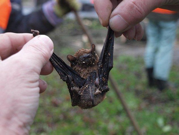Jeden z mnoha nalezených netopýrů v dutině stromu ve Smečenské ulici.
