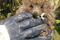 Při manipulaci s ježkem si nezapomeňte nasadit pevné rukavice.