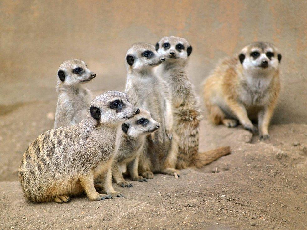 Zoopark Zájezd: surikaty.