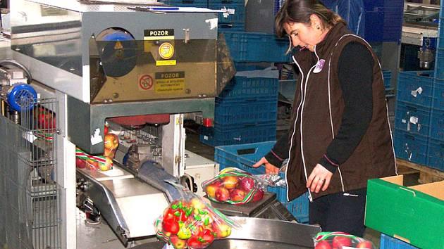 Kontrola zabalených jablek před expedicí.