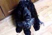 Černý kokršpaněl Xaver má nezvykle bílý ocas.