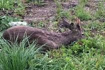 Zvíře se podařilo odchytit a vrátit do volné přírody po třech hodinách.