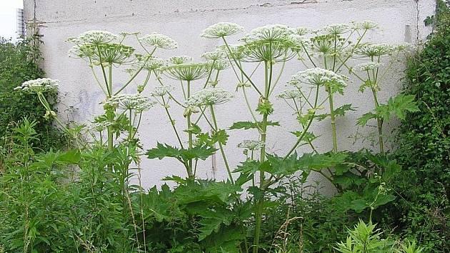 Na šest vzrostlých rostlin bolševníku velkolepého v Kladně na Tuchorazu upozornil Kladenský deník pozorný čtenář.